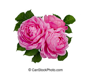 Delicate pink roses with a green leaves