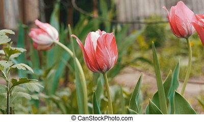 Delicate pink tulips grow in garden - Delicate pink tulips...