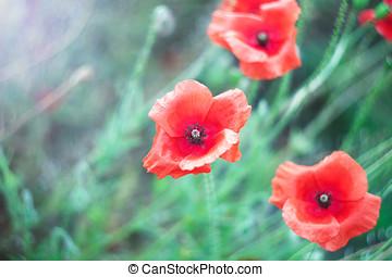 Delicate poppy flowers in the field