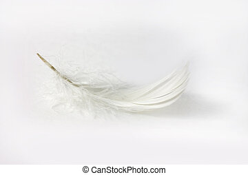 white feather on white background - delicate white feather...