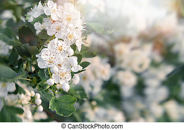 Delicate white flowers of hawthorn in the spring garden, close-up