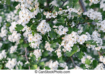 Delicate white flowers of hawthorn in the spring garden
