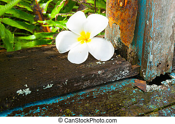 delicate white frangipani flower on window sill of abandoned remains of old home