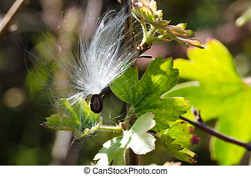Delicate White Milkweed Seed Fibers Snagged on Autumn Branch