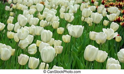 Delicate white tulips on summer field