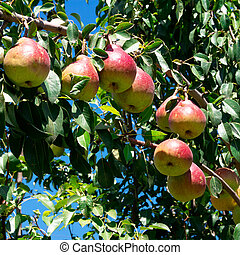 delicious and ripe pears on tree