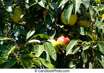 delicious and ripe pears on tree branch