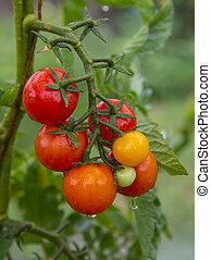 Delicious cherry tomatoes