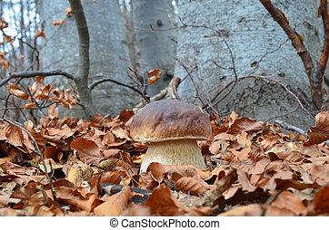 Delicious edible Porcini mushroom in natural habitat, autumn beech forest