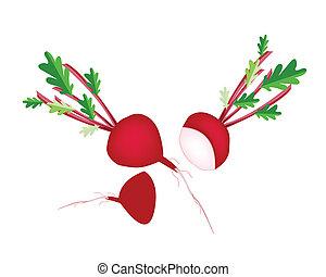 Delicious Fresh Red Radish on White Background