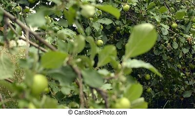 Delicious green apples, fruit tree, private orchard,...