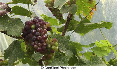 Delicious purple grapes - A close up pan to left shot of...