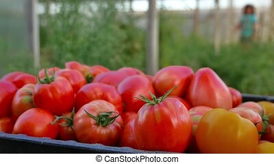 Delicious red tomatoes. A pile of tomatoes. Summer tray...