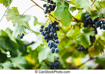 delicious ripe dark blue grapes on the Bush. The harvest in the winery