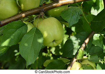 Delicious ripe green apples hanging on a branch on a Sunny summer day
