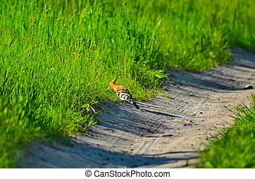 delightful Hoopoe on a forest road