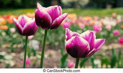 Delightful Purple Tulips in Park Flowers. Close up Shot.