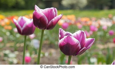 Delightful Purple Tulips in Park Flowers. Close up Shot.