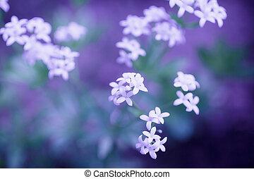 delikat, vita blommar, på, a, violett, bakgrund