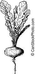 delirio, vendimia, planta, engraving.