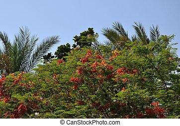 Delonix regia poinciana's red flower blooming