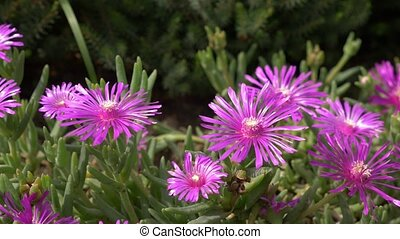 Delosperma Ice Plant blossoming pink in the park on sunny...