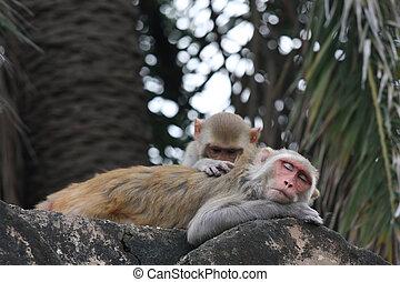Delousing monkeys