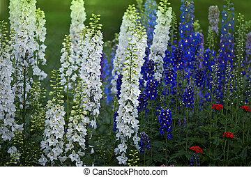 Delphinium double flowers. Candle Delphinium or English ...