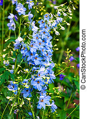 Delphinium flowers in summer garden