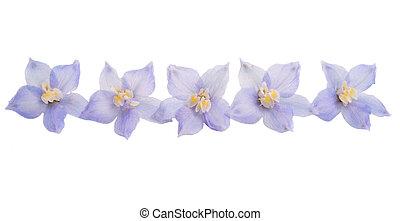 delphinium flowers isolated