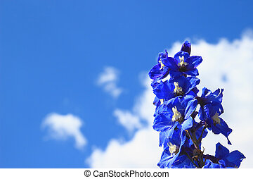 Delphinium isolated on a blue sky background