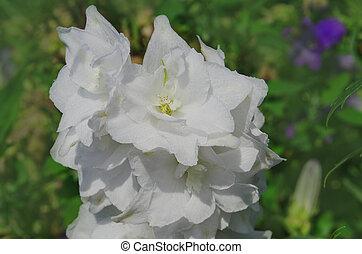 Delphinium Moonlight. Growing larkspur flowers - Delphinium ...