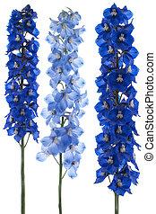 delphinium - Studio Shot of Blue Colored Delphinium Flowers ...