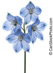 delphinium - Studio Shot of Blue Colored Delphinium Isolated...