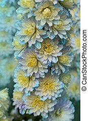 Delphinium Sweet Sensation. Candle Larkspur - Delphinium ...