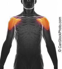 deltoïde, muscle, isolé, -, anatomie