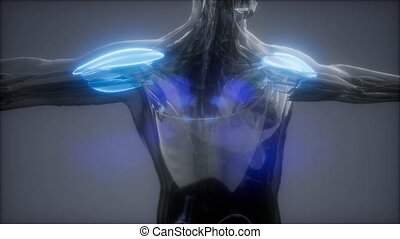 deltoid - Visible muscle anatomy map