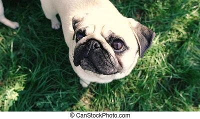 demander, chiens, nourriture, pugs., owner.