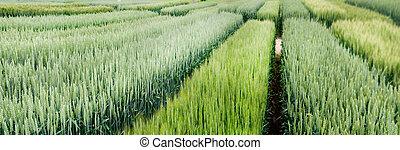 demo plot of grain crops, new varieties in agriculture