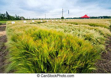 demo sectors of plot grain crops, new varieties winter barley in agriculture, top view