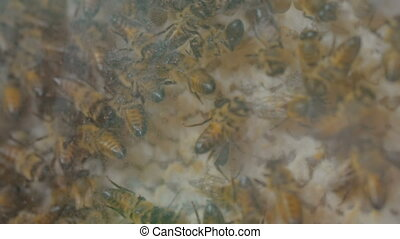 Demonstration of honey bees in glass hive - Close up of many...