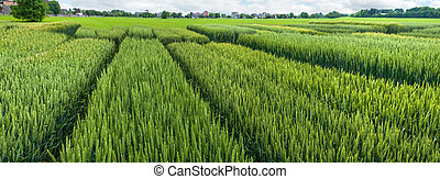 demonstration sectors of plot grain crops, new varieties in agriculture, top view