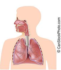 den, åndedræts system