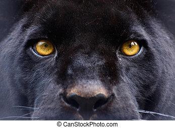 den, ögon, av, a, svart panter