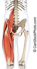 den, övre, ben, muskulatur