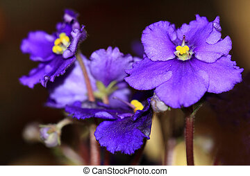 den, afrikansk viol, blomma