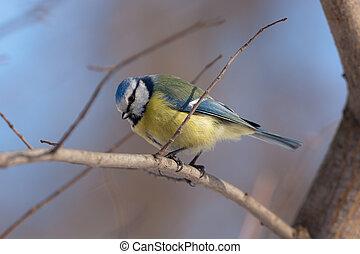 den, blått bröst, på, a, träd
