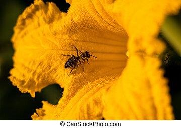 den, dýně, květ, květ, jasný, včela, zbabělý, léto, -, opylit