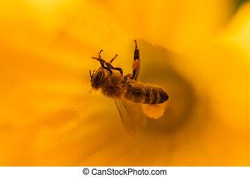 den, dýně, květ, květ, jasný, včela, zbabělý, léto, -, ...