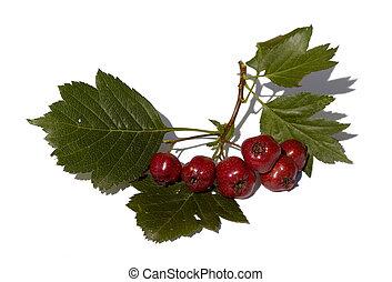 den, filial, av, hagtorn, med, frukter, är, isolerat
